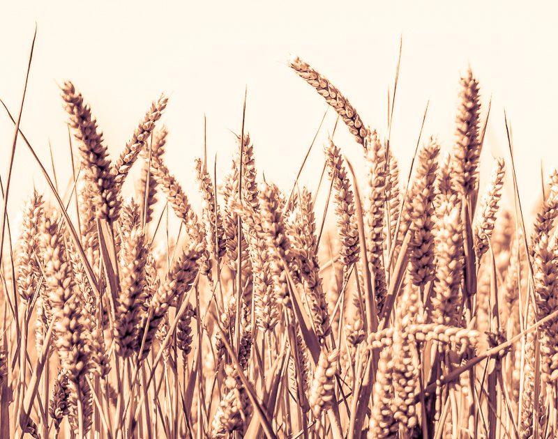Mehr Qualität & Geschmack durch sortenreine Weizenmehle