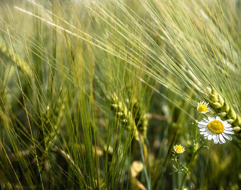 Meine Definitionen von Urkorn & urige Getreide